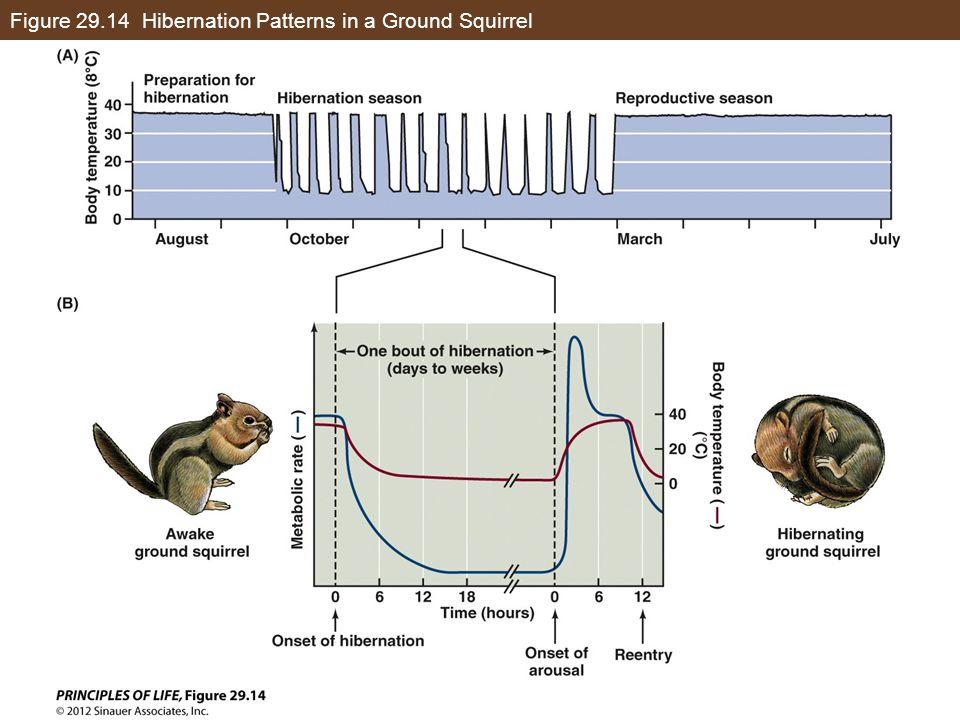 Figure 29.14 Hibernation Patterns in a Ground Squirrel