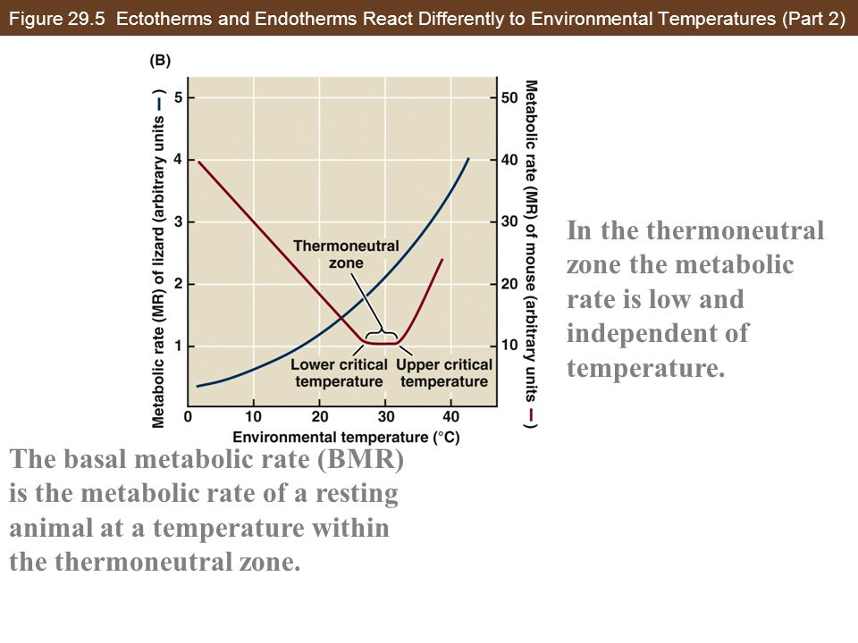 Figure 29.5 Ectotherms and Endotherms React Differently to Environmental Temperatures (Part 2) In the thermoneutral zone the metabolic rate is low and