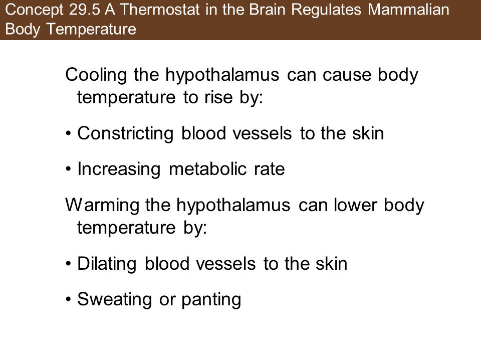 Concept 29.5 A Thermostat in the Brain Regulates Mammalian Body Temperature Cooling the hypothalamus can cause body temperature to rise by: Constricti