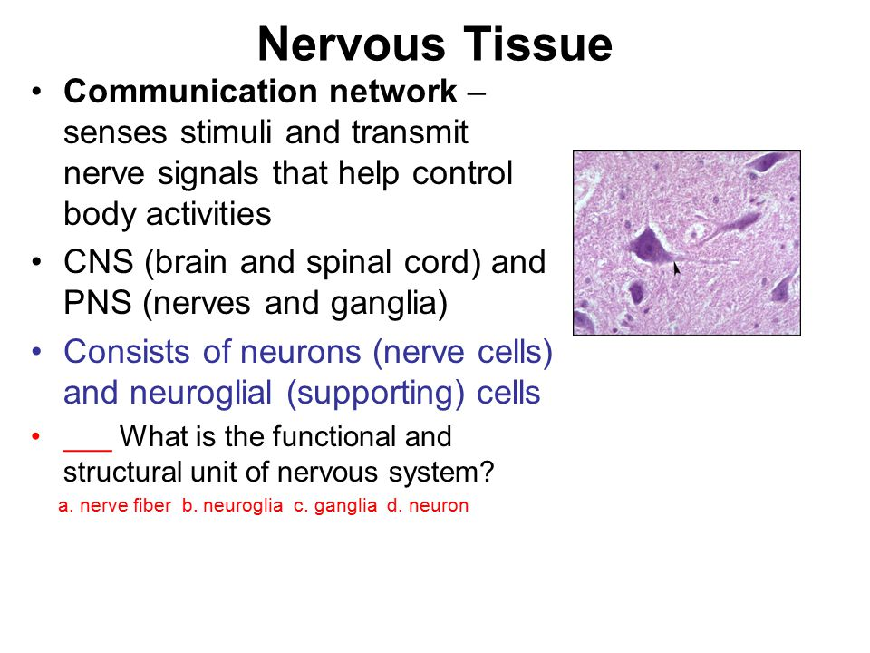 Nervous Tissue Communication network – senses stimuli and transmit nerve signals that help control body activities CNS (brain and spinal cord) and PNS (nerves and ganglia) Consists of neurons (nerve cells) and neuroglial (supporting) cells ___ What is the functional and structural unit of nervous system.
