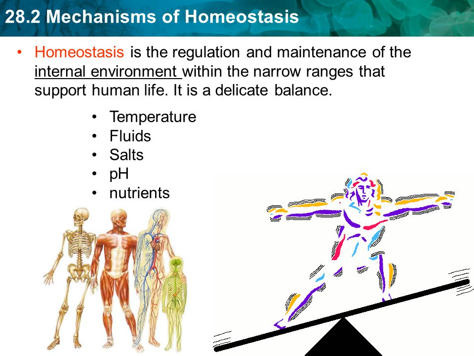 28.2 Mechanisms of Homeostasis A disruption of homeostasis can be harmful Sensors fail to detect changes Wrong messages sent Messages fail to reach their targets Serious injuries overwhelm the body Viruses or bacteria change the body's internal chemistry