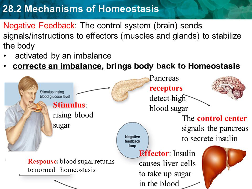 28.2 Mechanisms of Homeostasis 19 You sweat, body temperature lowers to normal (98.6)