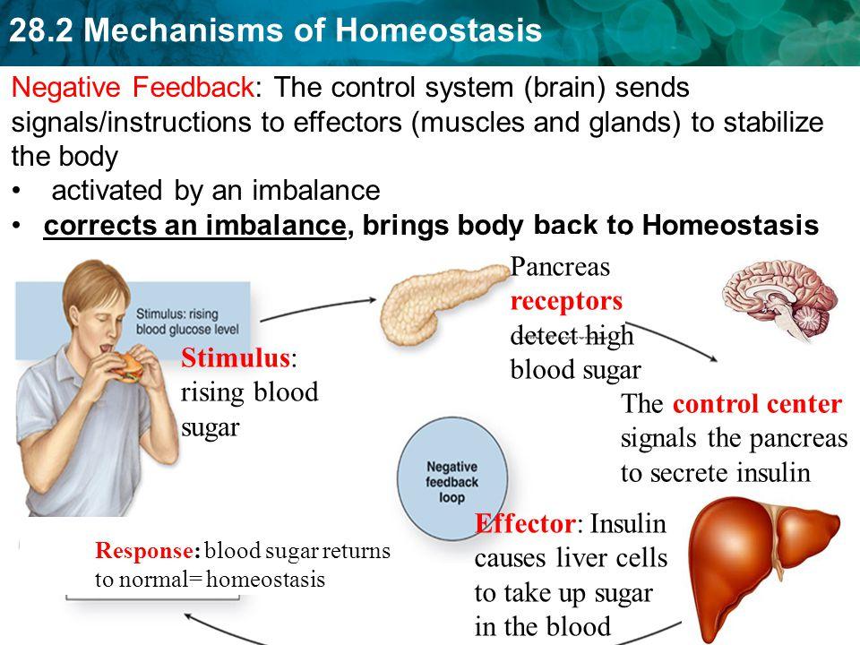 28.2 Mechanisms of Homeostasis 29 Homework On the top ½ of pg.