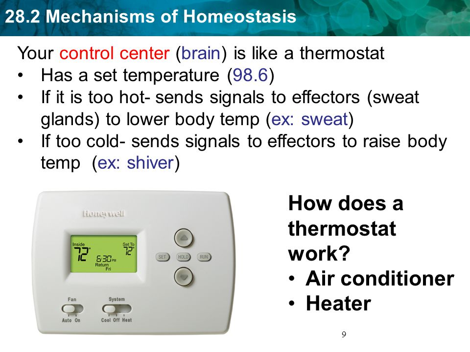 28.2 Mechanisms of Homeostasis 30 Negative Feedback Positive Feedback Corrects an imbalance Ex: temperature regulation Returns body to homeostasis Causes additional changes Ex: Contractions during childbirth Moves body away from homeostasis stimuli receptors Control center effectors