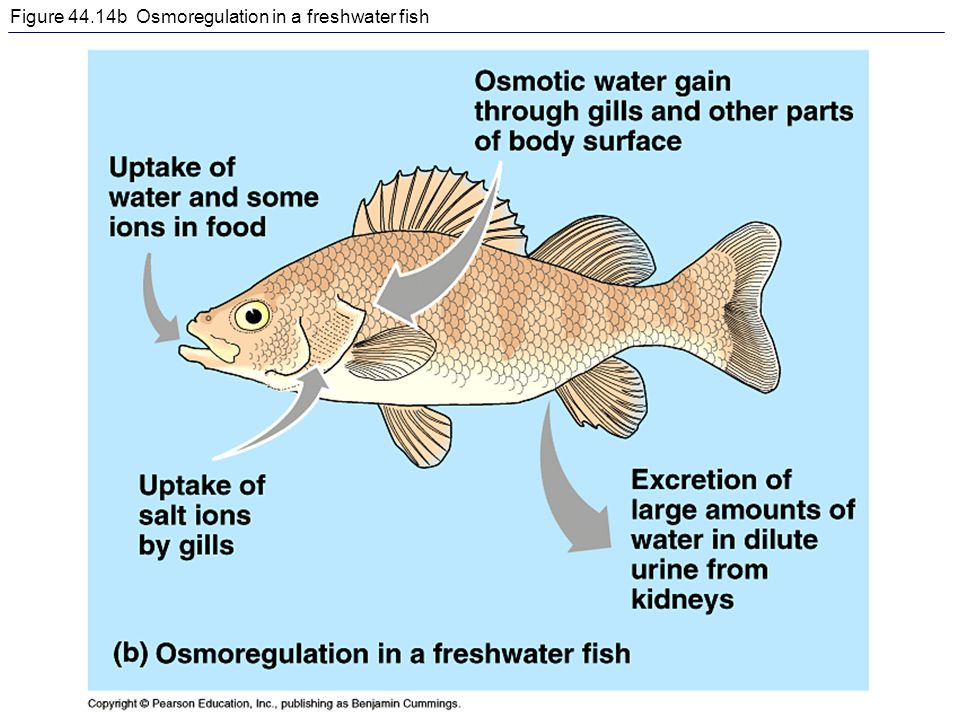 Figure 44.14b Osmoregulation in a freshwater fish