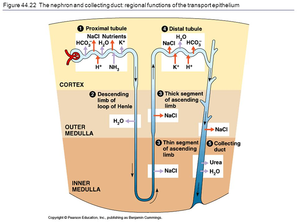 Figure 44.22 The nephron and collecting duct: regional functions of the transport epithelium