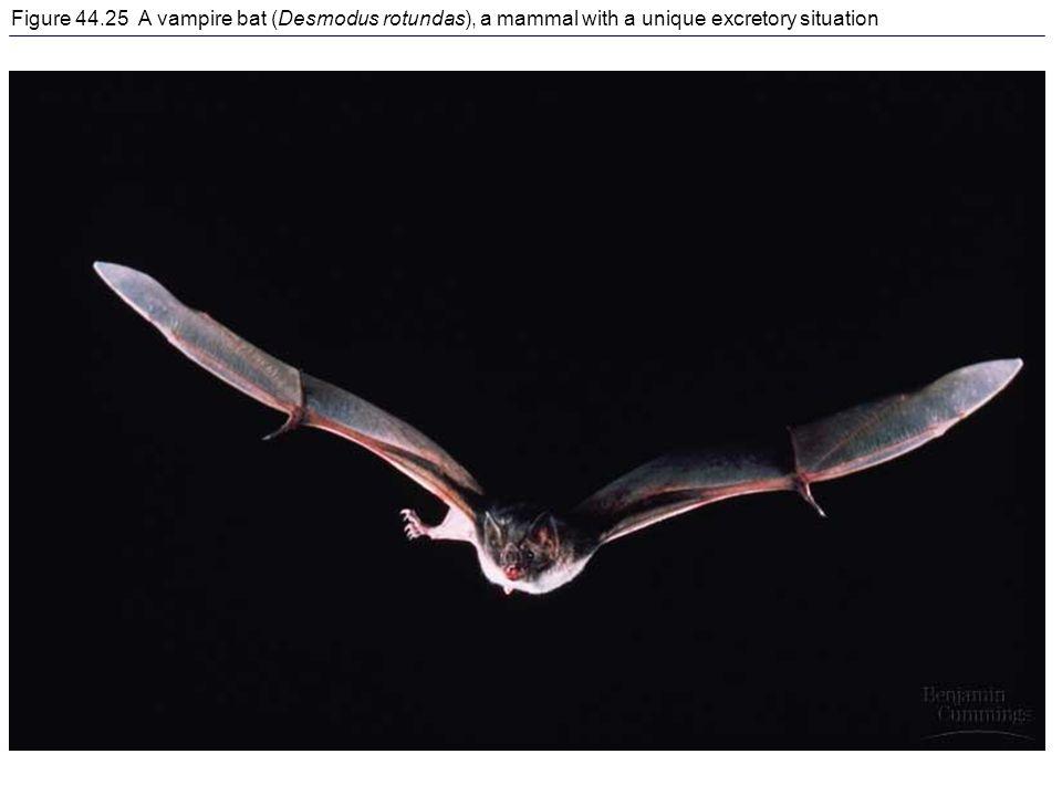 Figure 44.25 A vampire bat (Desmodus rotundas), a mammal with a unique excretory situation