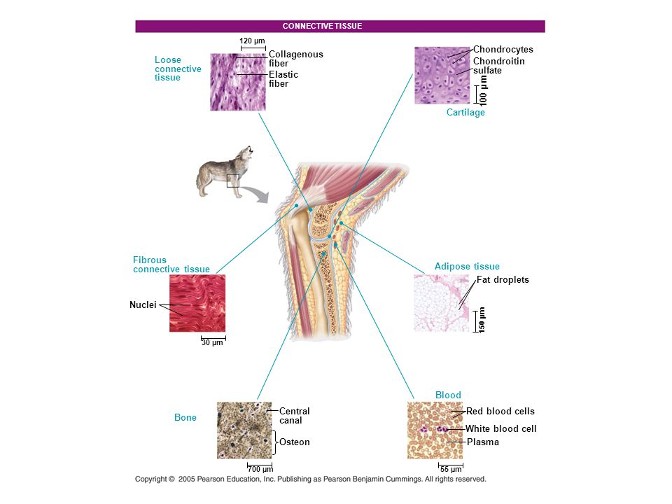 MUSCLE TISSUE Multiple nuclei 100 µm Skeletal muscle Cardiac muscle Smooth muscle Neuron Muscle fiber Sarcomere Intercalated disk Nucleus 50 µm Nucleus 25 µm Muscle fibers Process Nucleus 50 µm Cell body NERVOUS TISSUE