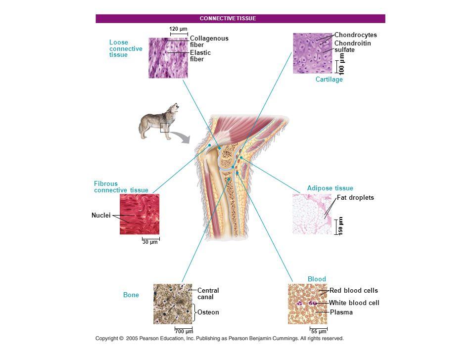 Animations and Videos Bozeman – Thermoregulation Bozeman - Anatomy and Physiology Bozeman - Organ Systems Chapter Quiz Questions – 1 Chapter Quiz Questions – 2