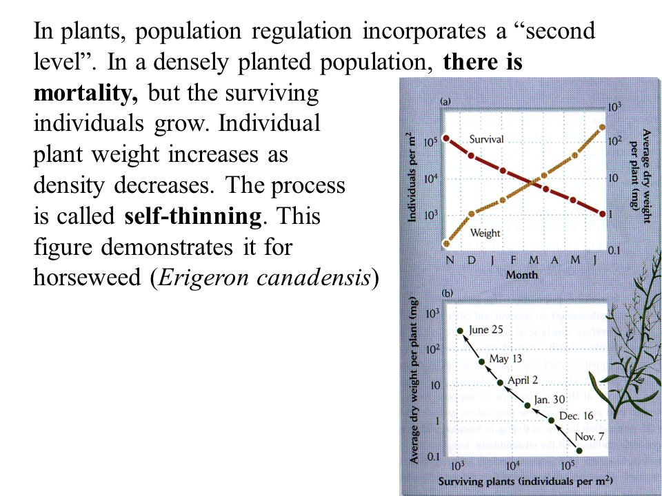 """In plants, population regulation incorporates a """"second level"""". In a densely planted population, there is mortality, but the surviving individuals gro"""