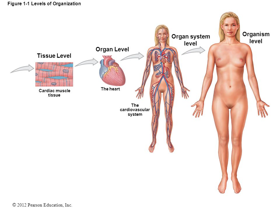 © 2012 Pearson Education, Inc. Figure 1-1 Levels of Organization Tissue Level Organ Level Cardiac muscle tissue The heart The cardiovascular system Or