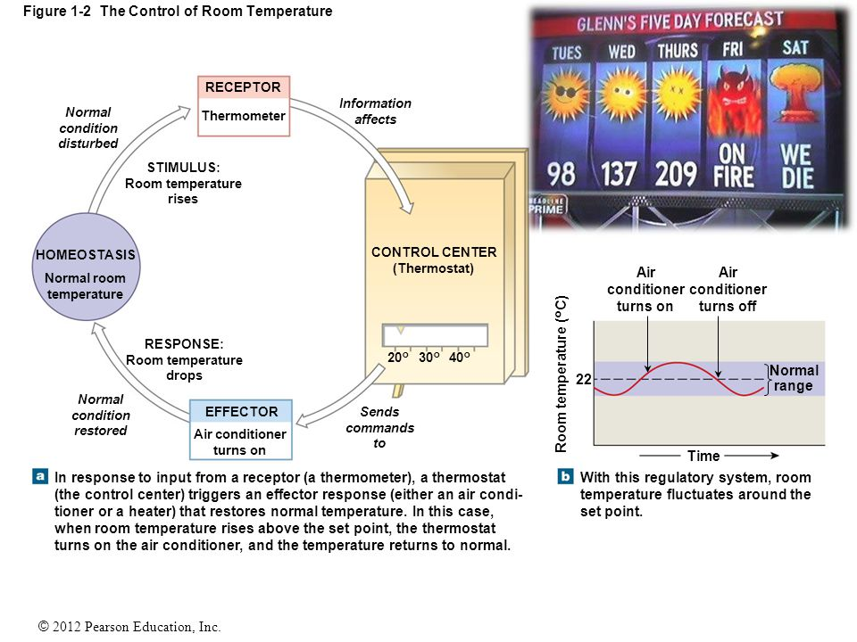 © 2012 Pearson Education, Inc. Figure 1-2 The Control of Room Temperature Normal condition disturbed Information affects RECEPTOR Thermometer HOMEOSTA