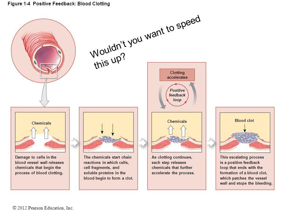 © 2012 Pearson Education, Inc. Figure 1-4 Positive Feedback: Blood Clotting Clotting accelerates Positive feedback loop Blood clot Chemicals This esca