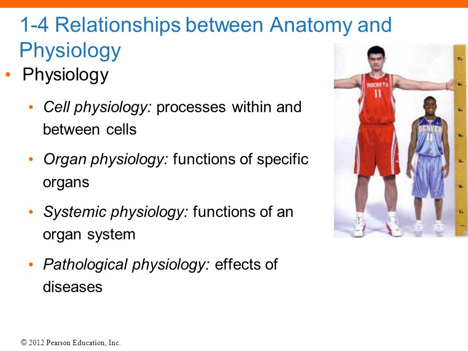 © 2012 Pearson Education, Inc. 1-4 Relationships between Anatomy and Physiology Physiology Cell physiology: processes within and between cells Organ p