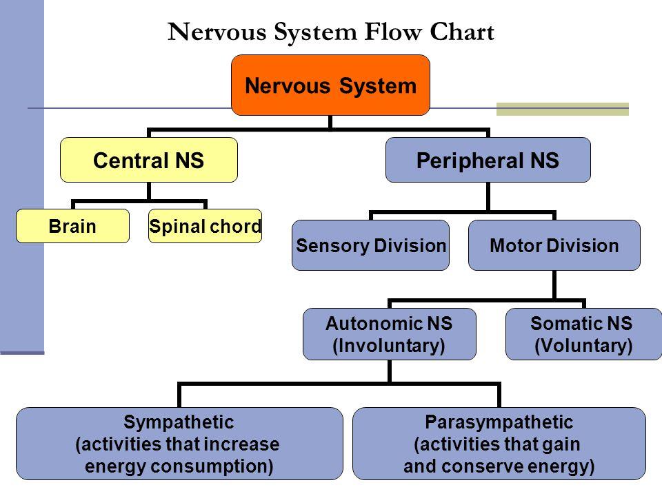 Nervous System Flow Chart Sympathetic (activities that increase energy consumption) Parasympathetic (activities that gain and conserve energy)