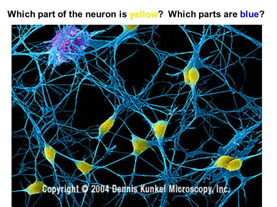 yellow Which part of the neuron is yellow? Which parts are blue?