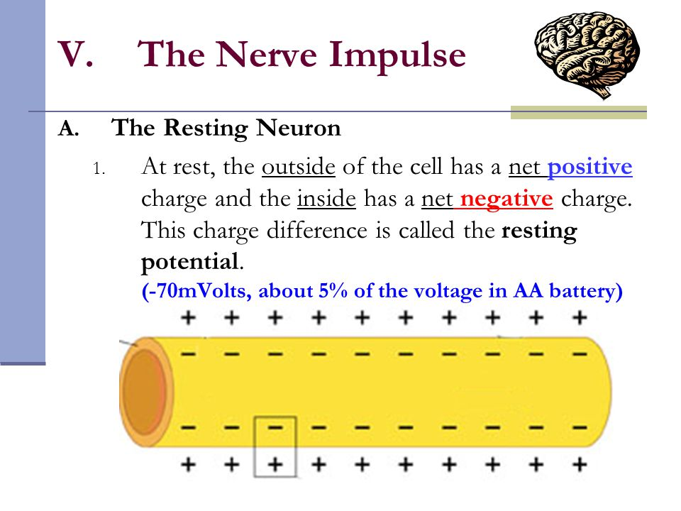 V.The Nerve Impulse A. The Resting Neuron 1. At rest, the outside of the cell has a net positive charge and the inside has a net negative charge. This