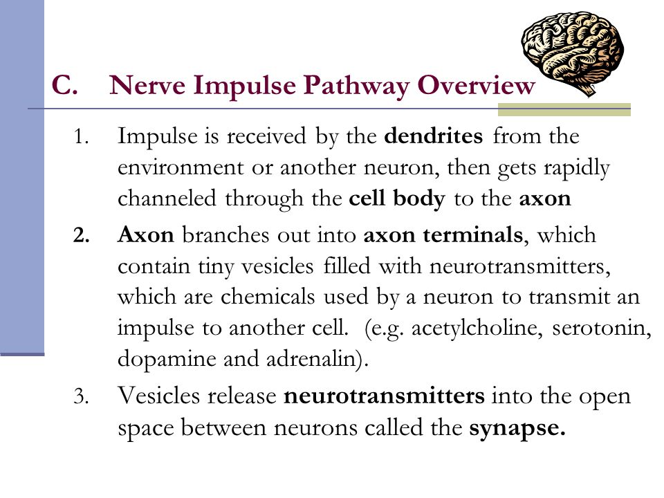 C.Nerve Impulse Pathway Overview 1. Impulse is received by the dendrites from the environment or another neuron, then gets rapidly channeled through t