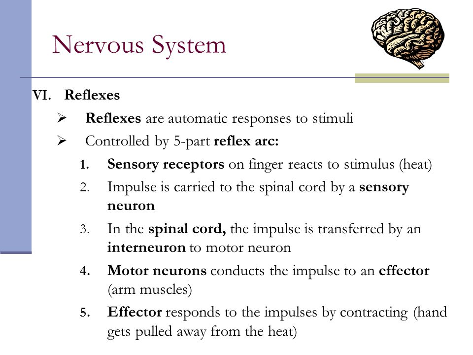 Nervous System VI. Reflexes  Reflexes are automatic responses to stimuli  Controlled by 5-part reflex arc: 1. Sensory receptors on finger reacts to