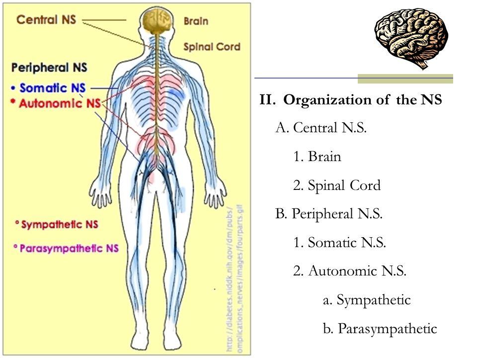 II.Organization of the NS A.Central N.S. 1. Brain 2. Spinal Cord B. Peripheral N.S. 1. Somatic N.S. 2. Autonomic N.S. a. Sympathetic b. Parasympatheti