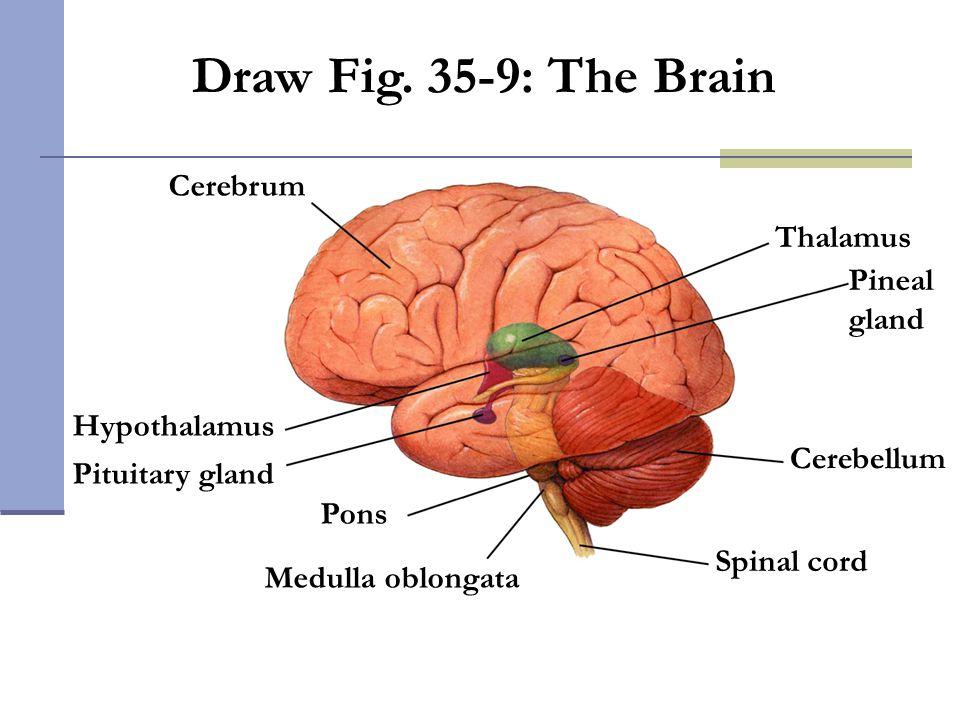 Pons Pituitary gland Hypothalamus Cerebrum Medulla oblongata Spinal cord Cerebellum Pineal gland Thalamus Draw Fig. 35-9: The Brain