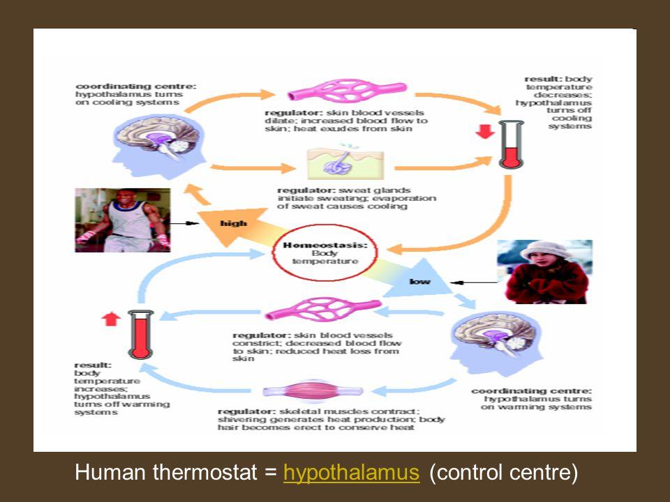 Human thermostat = hypothalamus (control centre)hypothalamus