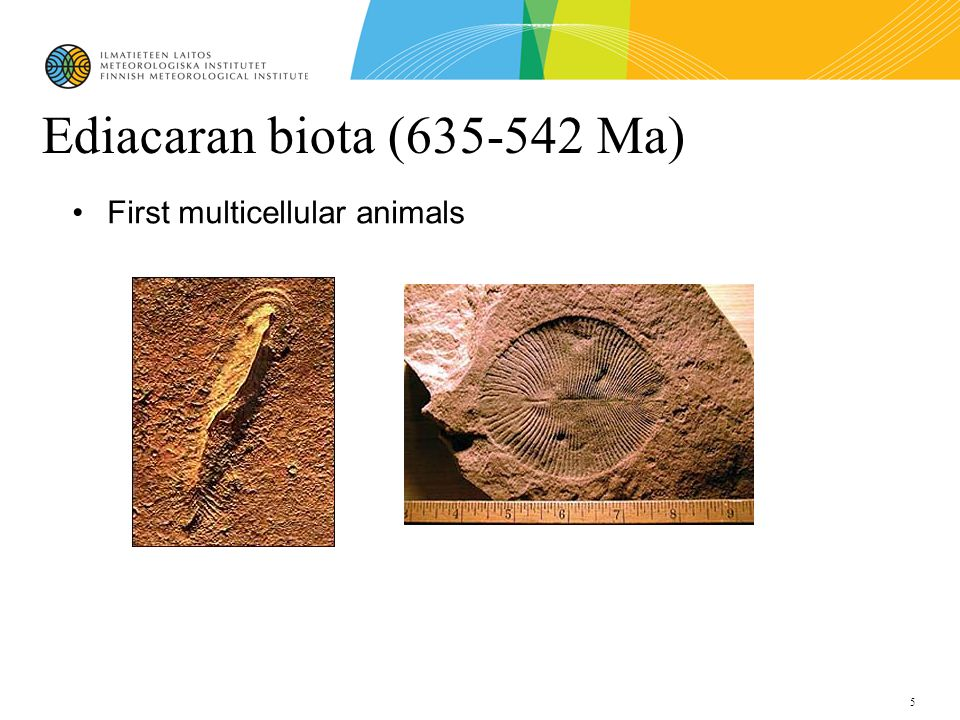5 Ediacaran biota (635-542 Ma) First multicellular animals