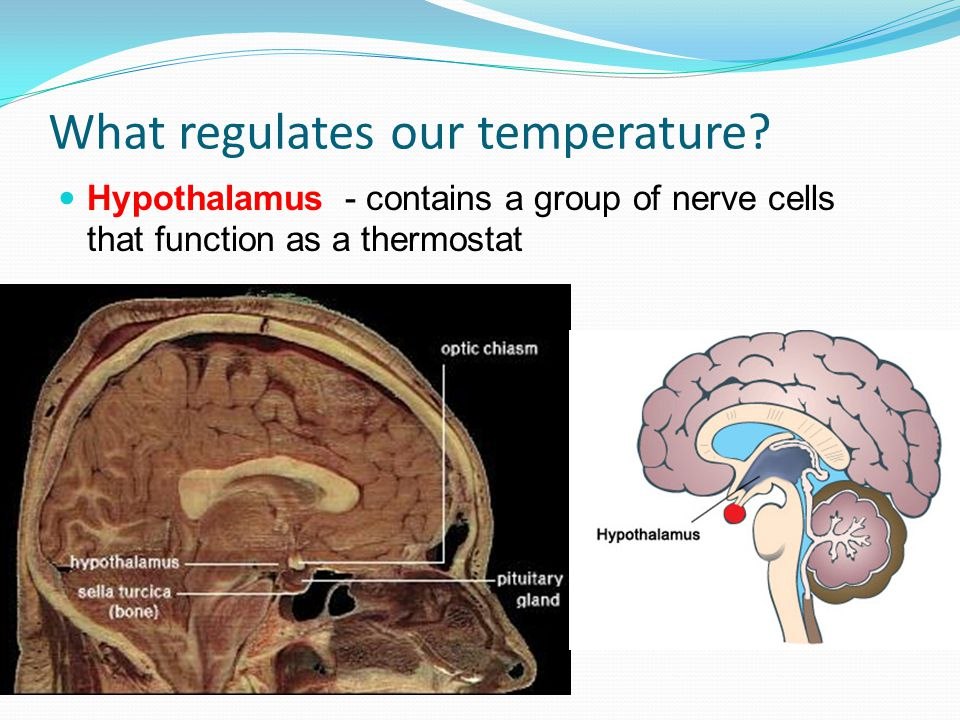 Thermostat in hypothalamus activates cooling mechanisms.