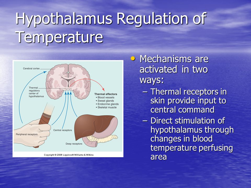 Hypothalamus Regulation of Temperature Mechanisms are activated in two ways: Mechanisms are activated in two ways: –Thermal receptors in skin provide