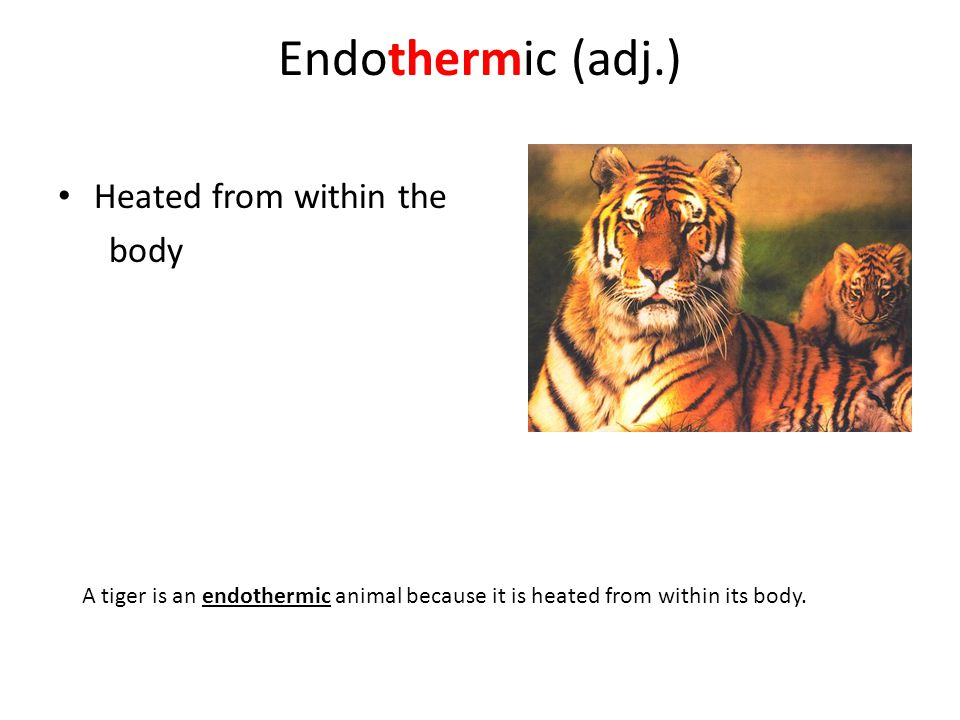 Endothermic (adj.) Heated from within the body A tiger is an endothermic animal because it is heated from within its body.