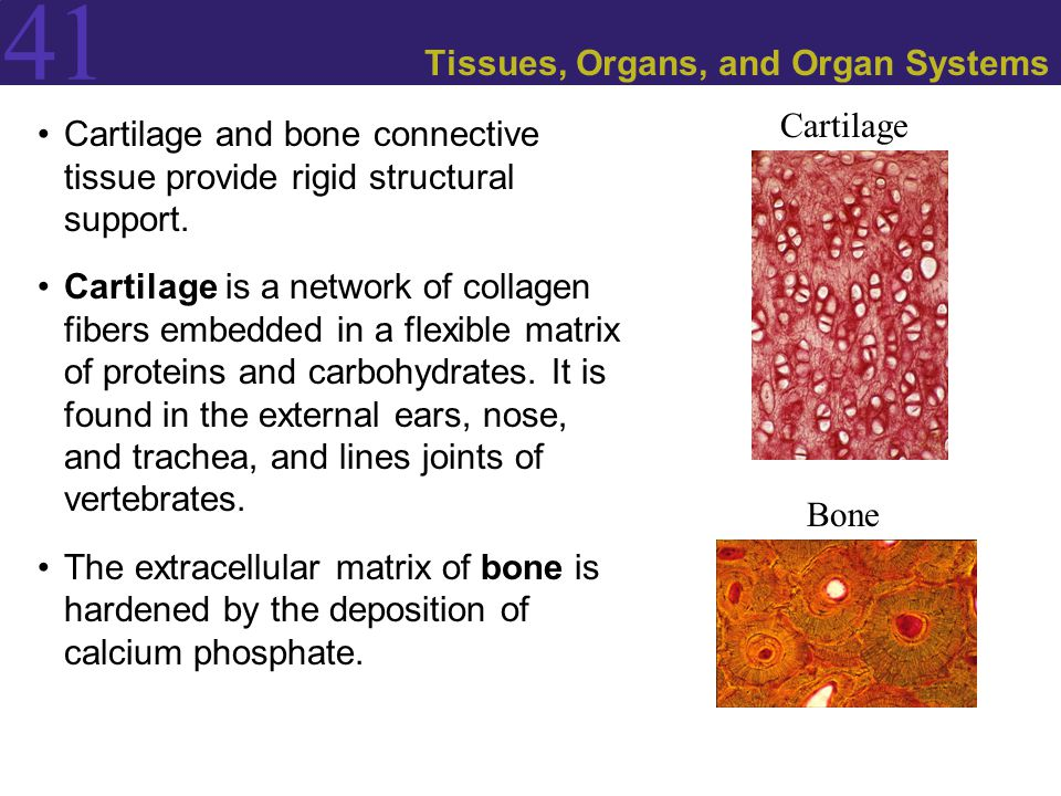 41 Tissues, Organs, and Organ Systems Cartilage and bone connective tissue provide rigid structural support.