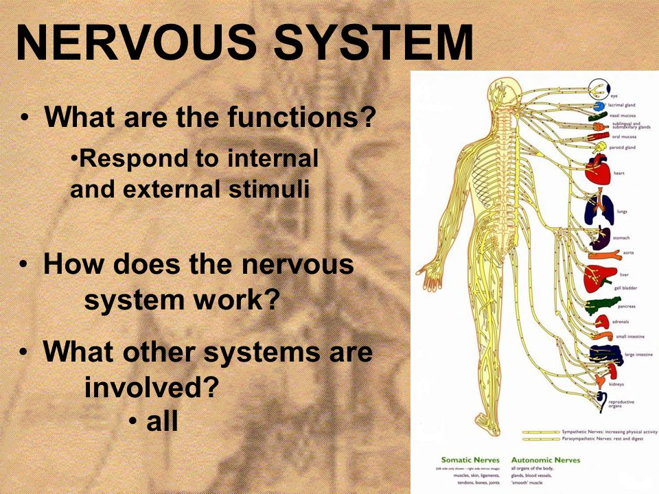 NERVOUS SYSTEM What are the functions? Respond to internal and external stimuli How does the nervous system work? What other systems are involved? all