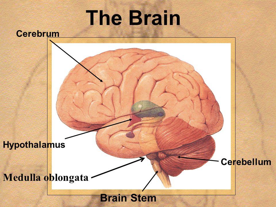 The Brain Hypothalamus Brain Stem Cerebrum Cerebellum Medulla oblongata
