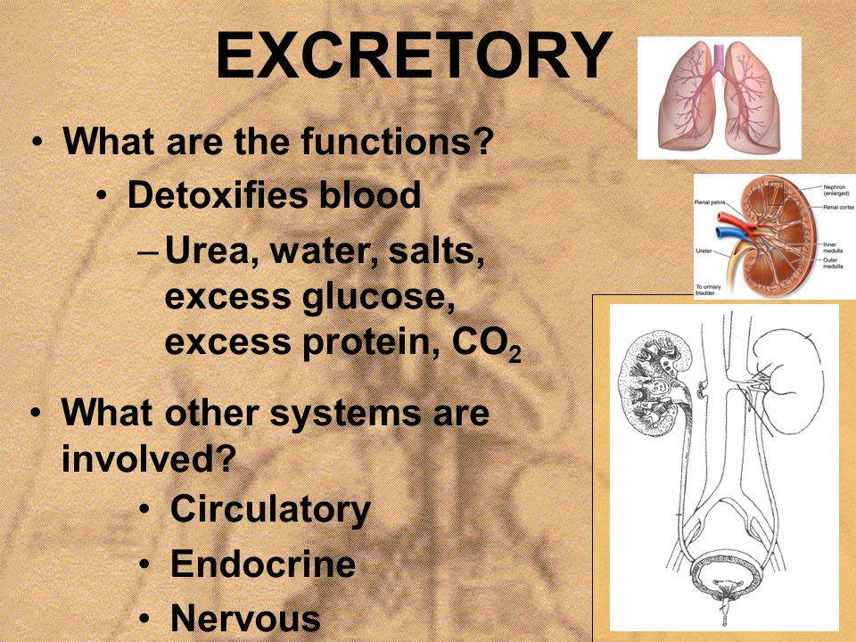 EXCRETORY What are the functions? Detoxifies blood –Urea, water, salts, excess glucose, excess protein, CO 2 What other systems are involved? Circulat