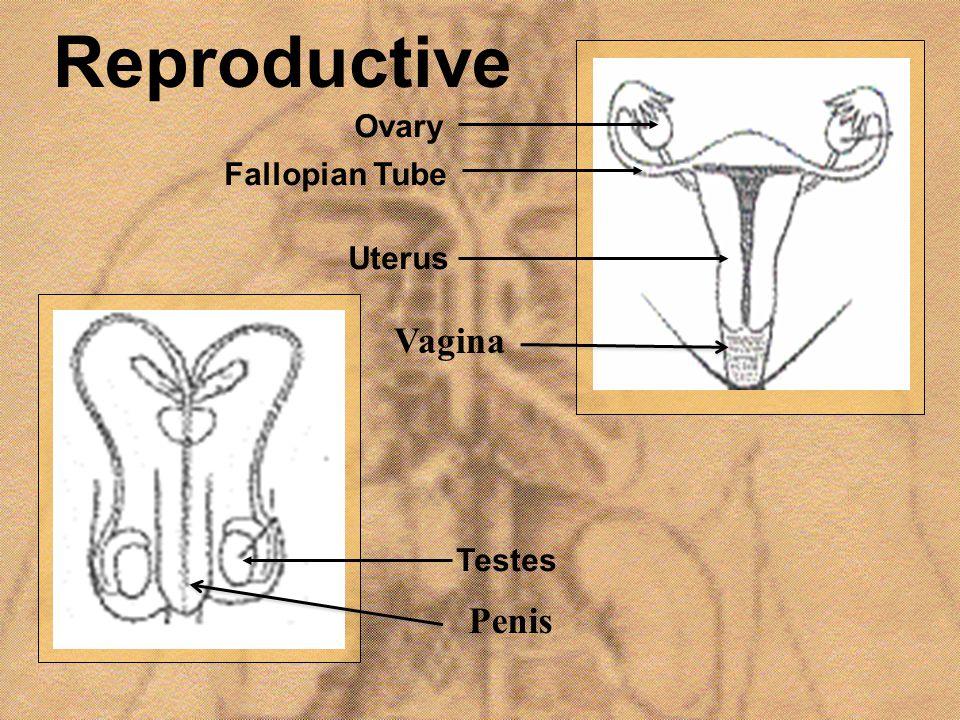 Reproductive Uterus Fallopian Tube Ovary Testes Penis Vagina