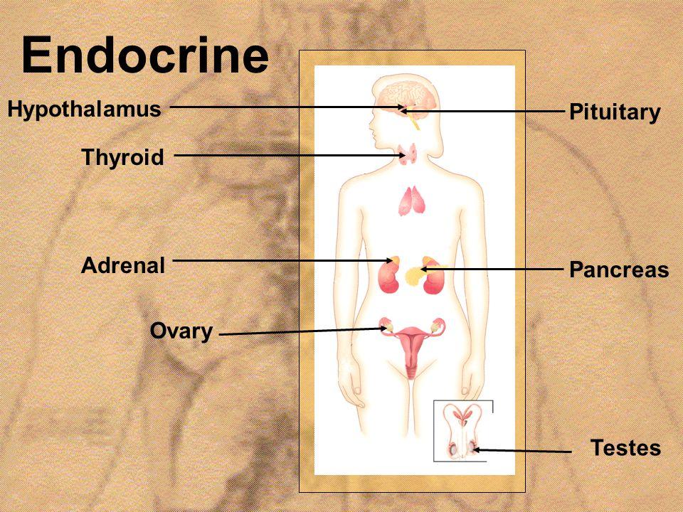Endocrine Hypothalamus Thyroid Adrenal Pituitary Pancreas Ovary Testes