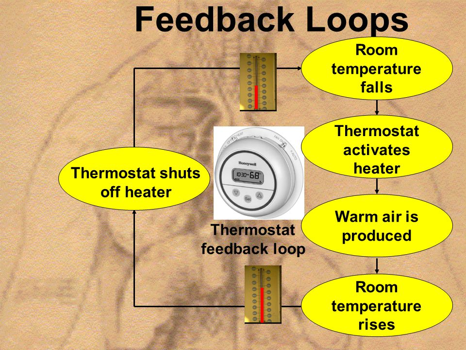 Feedback Loops Thermostat shuts off heater Room temperature falls Thermostat activates heater Warm air is produced Room temperature rises Thermostat f