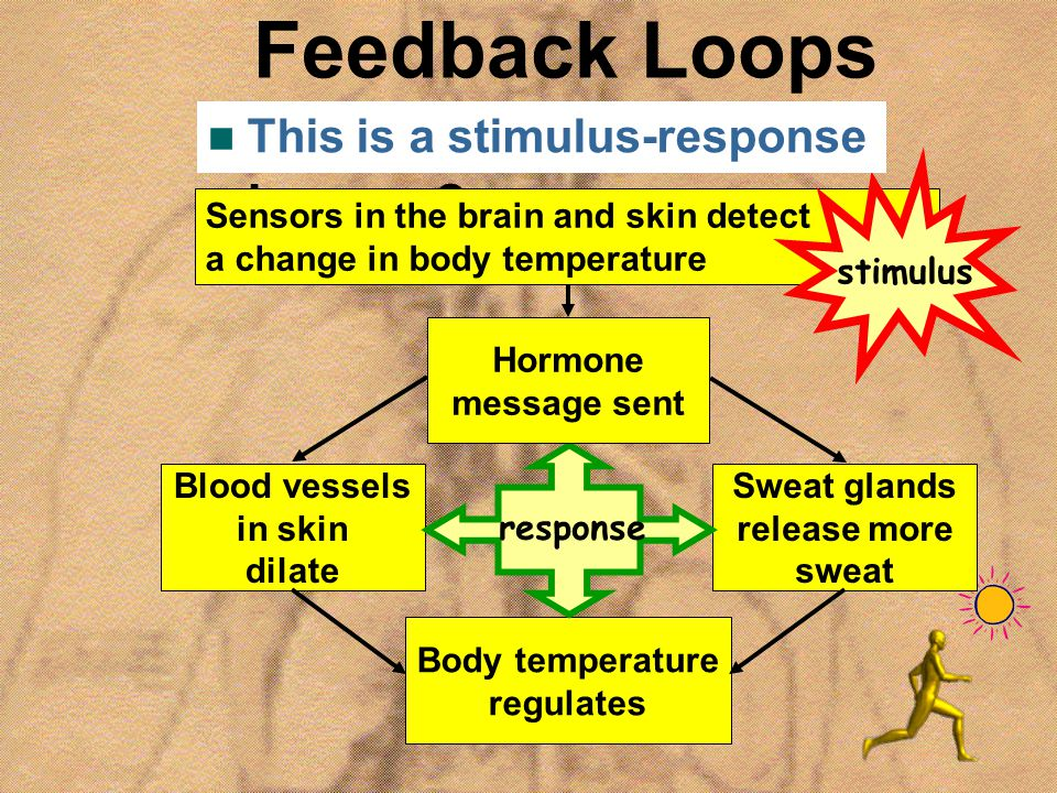 Feedback Loops How does this happen? Blood vessels in skin dilate Sensors in the brain and skin detect a change in body temperature Sweat glands relea