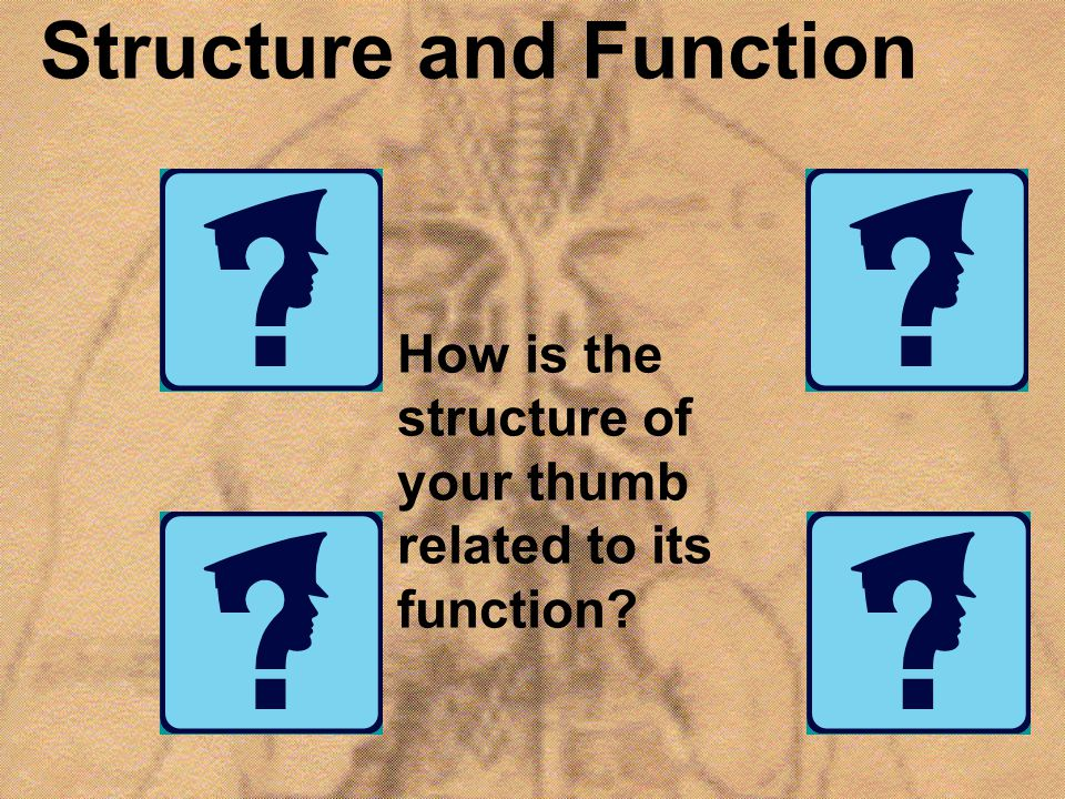 Structure and Function How is the structure of your thumb related to its function?
