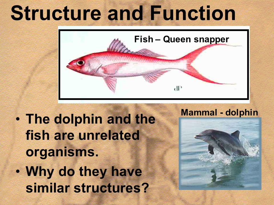 Structure and Function The dolphin and the fish are unrelated organisms. Why do they have similar structures? Mammal - dolphin Fish – Queen snapper