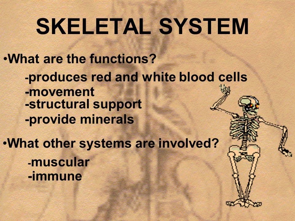 SKELETAL SYSTEM What are the functions? - produces red and white blood cells -movement What other systems are involved? -structural support -provide m