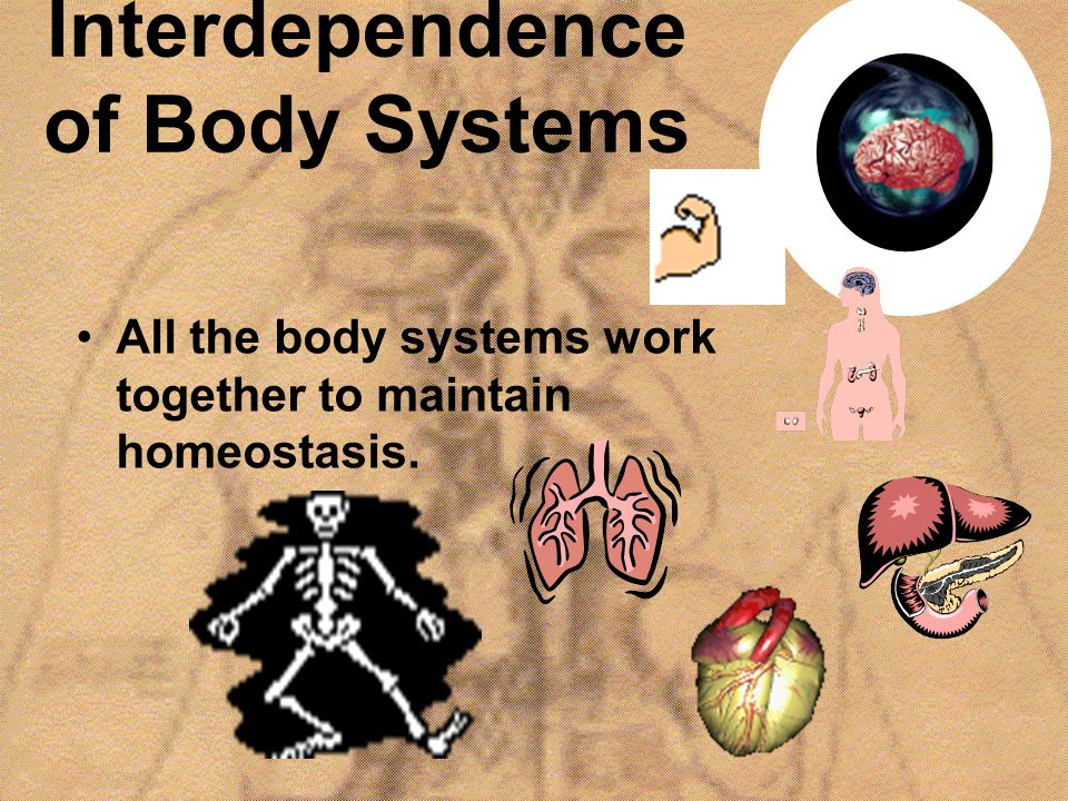 Interdependence of Body Systems All the body systems work together to maintain homeostasis.