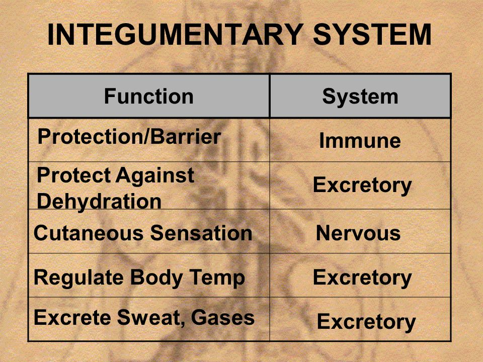 INTEGUMENTARY SYSTEM FunctionSystem Protection/Barrier Immune Protect Against Dehydration Excretory Cutaneous SensationNervous Regulate Body TempExcre