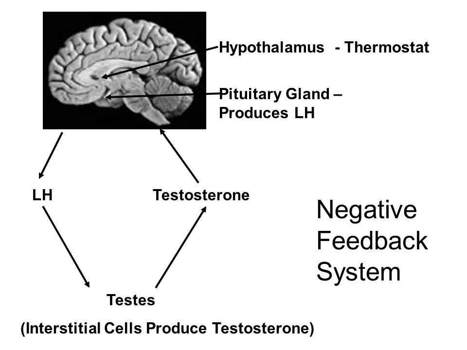 Negative Feedback System Testes (Interstitial Cells Produce Testosterone) LHTestosterone Hypothalamus - Thermostat Pituitary Gland – Produces LH
