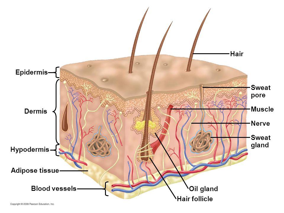 Epidermis Dermis Hypodermis Adipose tissue Blood vessels Hair follicle Oil gland Sweat gland Sweat pore Hair Muscle Nerve