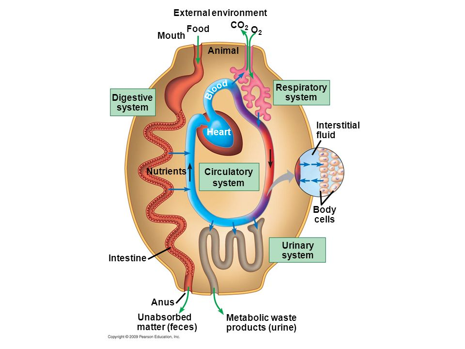 External environment Mouth Food Animal CO 2 O2O2 Respiratory system d Bl oo Digestive system Heart Nutrients Circulatory system Intestine Urinary system Body cells Interstitial fluid Anus Unabsorbed matter (feces) Metabolic waste products (urine)