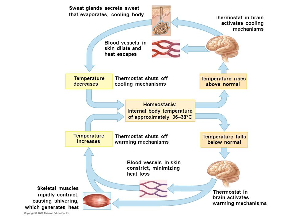 Sweat glands secrete sweat that evaporates, cooling body Blood vessels in skin dilate and heat escapes Temperature decreases Thermostat shuts off cooling mechanisms Temperature rises above normal Temperature falls below normal Thermostat shuts off warming mechanisms Homeostasis: Internal body temperature of approximately 36–38°C Temperature increases Blood vessels in skin constrict, minimizing heat loss Skeletal muscles rapidly contract, causing shivering, which generates heat Thermostat in brain activates warming mechanisms Thermostat in brain activates cooling mechanisms
