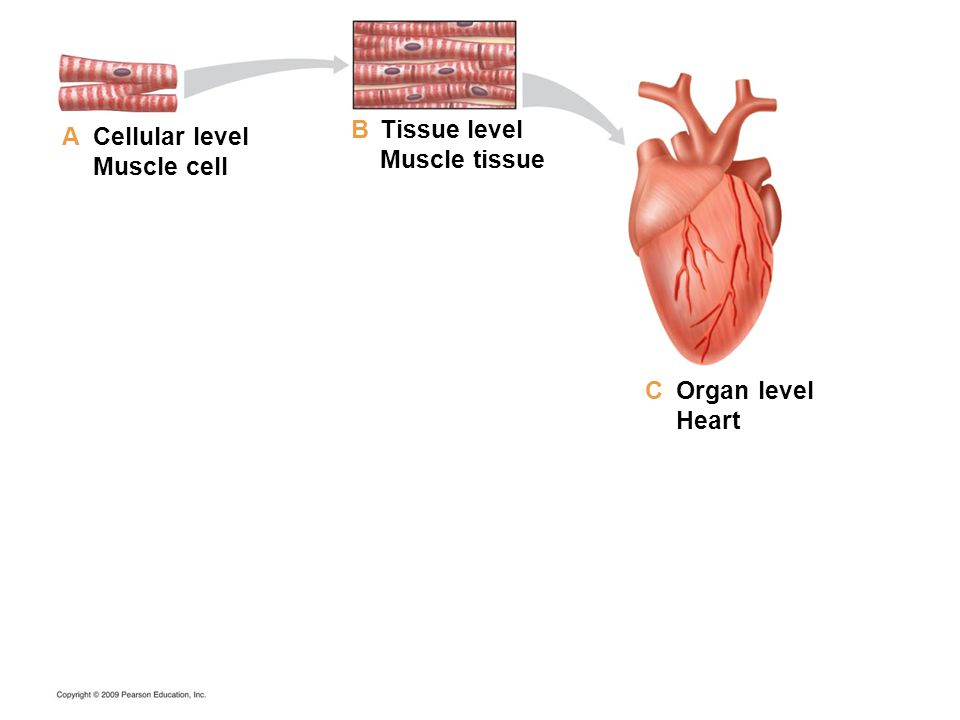 Cellular level Muscle cell Tissue level Muscle tissue Organ level Heart A B C