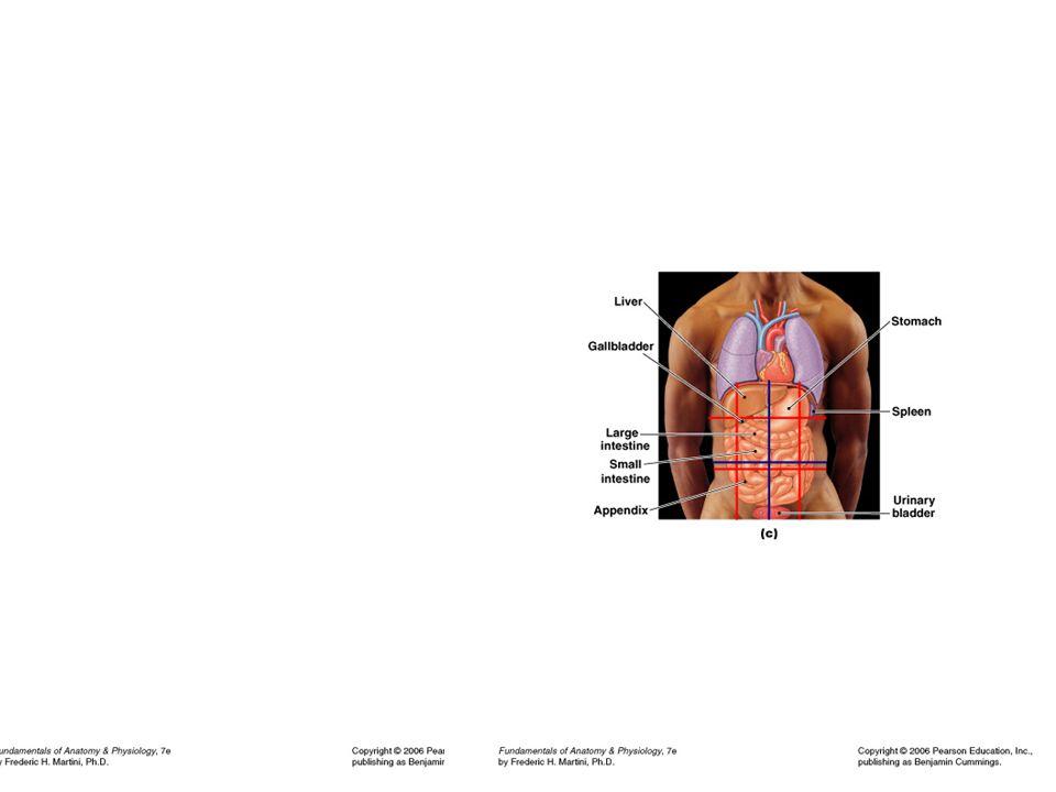 Niedlich Fundamentals Of Anatomy And Physiology Martini 7th Edition ...