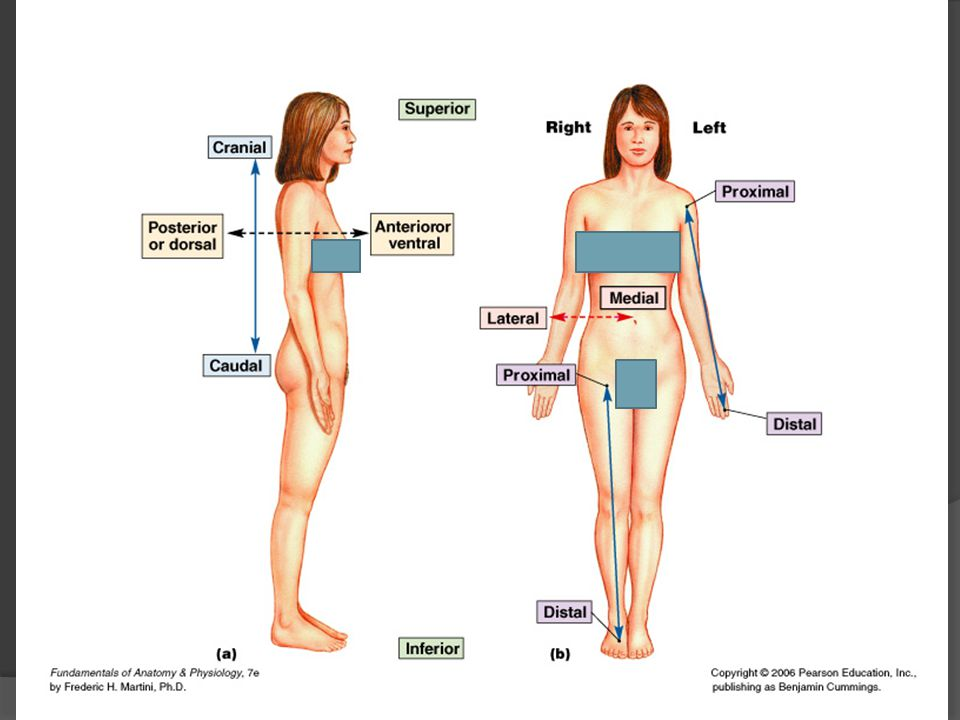 Frames of Reference for Anatomical Studies  Anatomical Directions The terms left and light always refer to the left and right sides of the subject, NOT of the observer